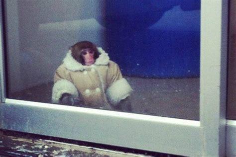 Stylish Ikea Monkey Sent To Canadian Primate Sanctuary