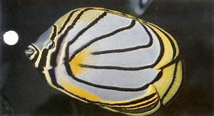 Meyers butterflyfish | Living Reefs