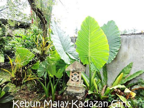 elephant ear plant kebun malay kadazan girls elephant ear