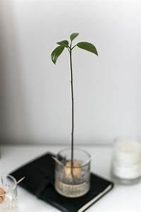Avocado Baum Pflege : avocado baum pflege eine avocado sprieen mit blttern in einen topf mit erde ein junger avocado ~ Orissabook.com Haus und Dekorationen