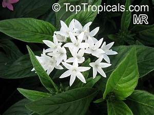 White Pentas StarCluster (page 2) - Pics about space