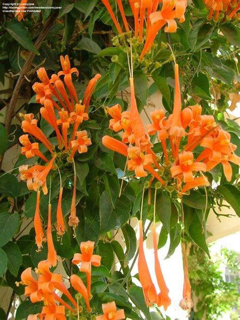 Orange Trumpet Creeper (pyrostegia Venusta) Spectacular