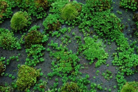 propagating moss how to grow moss moss and stone gardens
