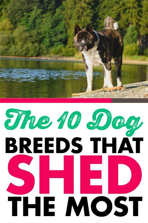 What Of Dogs Shed The Most by The 10 Breeds That Shed The Most Bar Breeds And