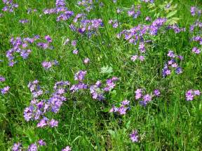 Purple Texas Wildflower Identification