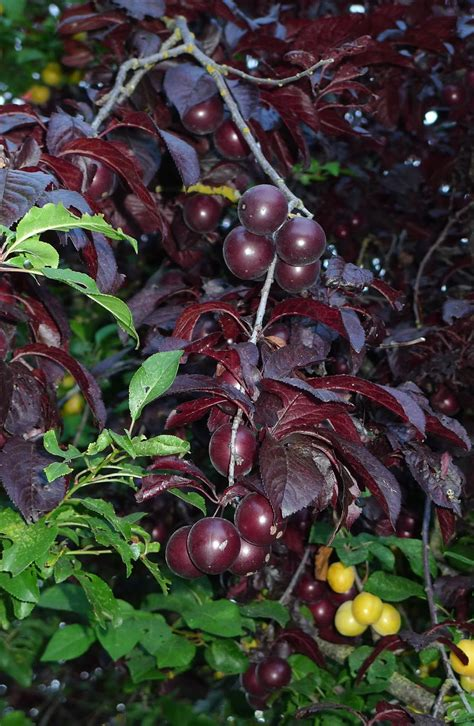 small purple plum wild harvests cherry plum an early plum gone wild