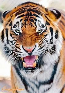 Blog de Crazy--Tiger - Le plus beau félin du monde ...