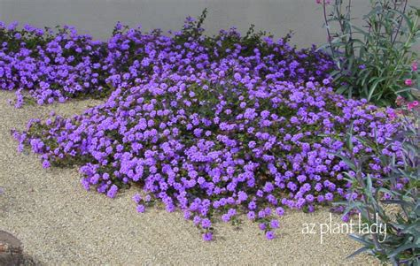 all year blooming flowers ramblings from a desert garden flowering all year long