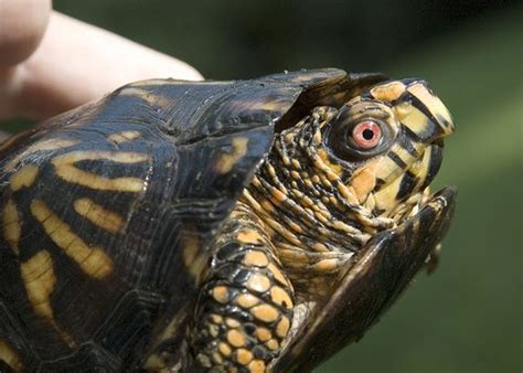 box turtle eye infection  pets