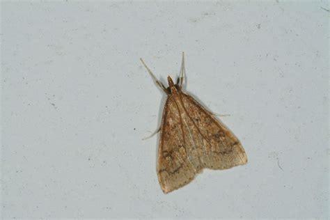 Small Moths Gallery
