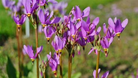 Eritronijas (Erythronium L.)