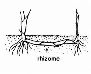 rhizomes...