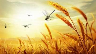 Harvest Wallpapers Wheat Agriculture Desktop Oats Grass