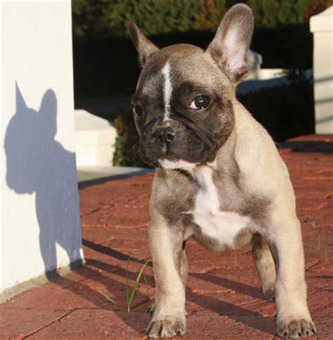 happy french bulldog day