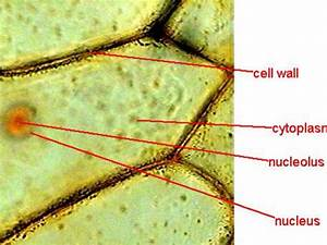 Cells Under A Microscope By Jaimarie Nelson