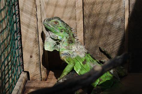 iguana pasar satwa  tanaman hias yogyakarta pasty