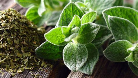 ou acheter sa cuisine l origan un antiviral de choc remèdes plantes santé