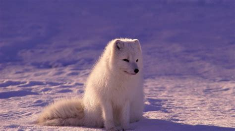 We have a lot of different topics like we present you our collection of desktop wallpaper theme: Cute White Fox 4K Wallpaper | HD Wallpapers