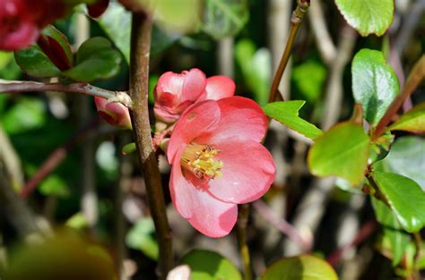 japanese quince blossom by finnyanne on deviantart