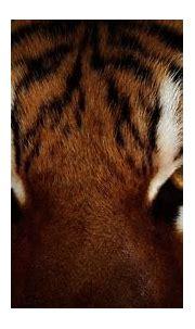 Tiger HD Wallpaper | Background Image | 1920x1080 | ID ...