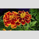 Marigold Flower Wallpaper | 1600 x 902 jpeg 253kB