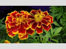 French Marigold Flower Wallpaper Wallpapers9