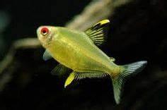 1000 ideas about Tetra Fish on Pinterest