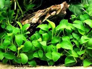 Plantes Aquarium Aquatiques Fiches Aquariophilie