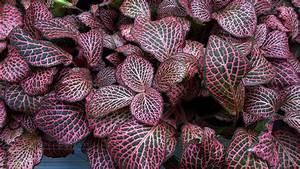 Zimmerpflanze Mit Roten Blättern : pflanzen f r s terrarium ~ Eleganceandgraceweddings.com Haus und Dekorationen