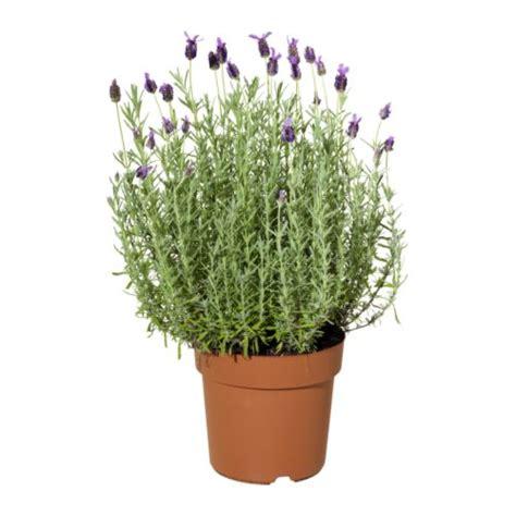 lavender potted plants lavandula potted plant lavender 19 cm ikea
