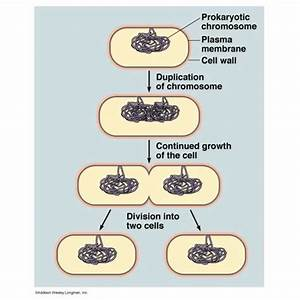 A Biology Study Guide On Cell Division In Bacteria