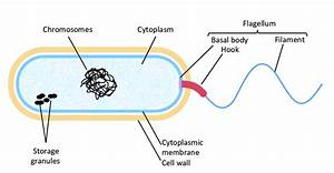7  Schematic Cross Sectional View Of A Bacterium  In