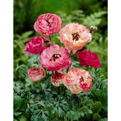 bloomsz ranunculus picotee bulbs club pack 240 pack
