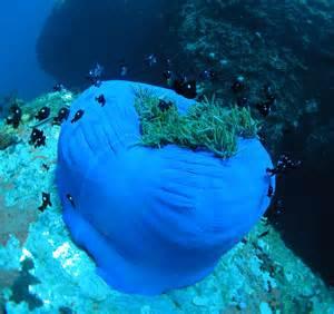 File:Sea anemone, Nha Trang.jpg