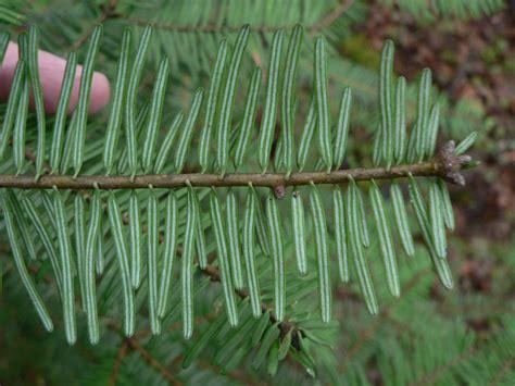 File:Abies grandis 01248.JPG - Wikimedia Commons