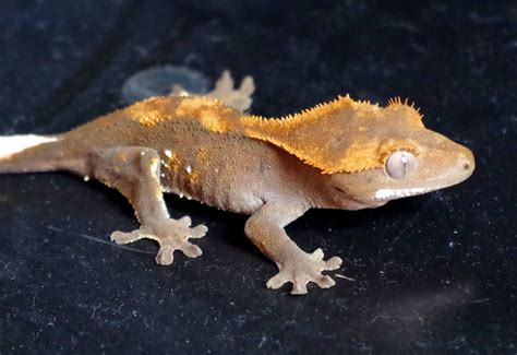 Crested Gecko Shedding Signs by Juvenile Crested Geckos And 2 Females Spalding