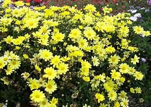 Gelbe Sommerblumen Mehrjährig : balkonblumen argyranthemum frutescens beauty yellow gelbe strauchmagerite berwinterung ~ Frokenaadalensverden.com Haus und Dekorationen