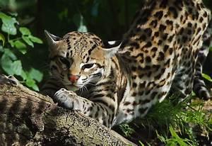 Enciclopedia animal | Animales de la selva - Ocelote