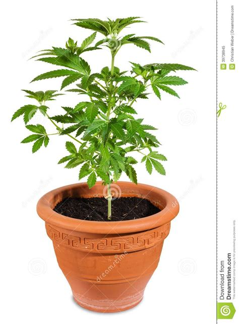 cannabis en pot exterieur plantation cannabis exterieur en pot 28 images culture du cannabis en ext 233 rieur en terre
