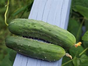 Gurken Anbauen Im Topf : gurken anbauen aussaat pflege im garten majas pflanzenwelt ~ Frokenaadalensverden.com Haus und Dekorationen