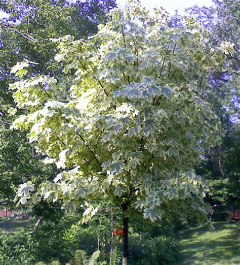 varigated maple tree varigated norway maple tree farm nursery sale mn arbor hill tree farm
