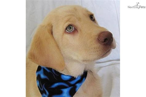 labrador retriever puppy  sale  provo orem utah