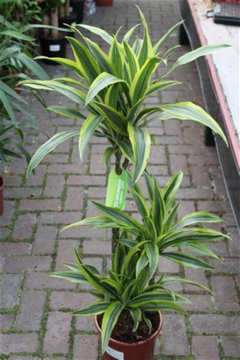 plante pour le bureau plante d intérieur plante pour la maison ou le bureau
