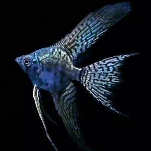 Best 25 Tetra fish ideas on Pinterest