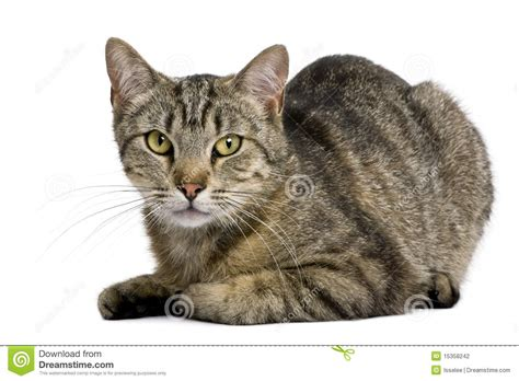 European Tiger Cat, 13 Months Old Stock Photography ...