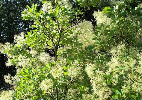 Vier Sommergrüne, Winterharte Kübelpflanzen. Auch Für