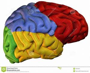 Colored Sections Human Brain Stock Illustration