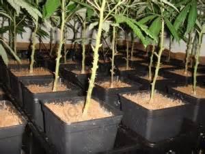 comment tailler ou pincer les plantes de cannabis