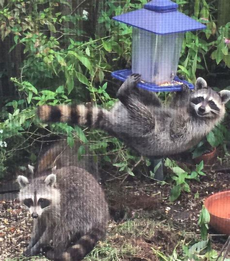 my grandma sent me this photo of these raccoons eating her