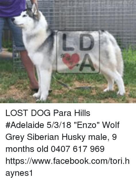 Lost Dog Meme - lost dog para hills adelaide 5318 enzo wolf grey siberian husky male 9 months old 0407 617 969